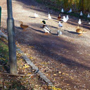Teichperle Enten füttern am Gotthardteich